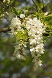 Lilas blanc Photo stock