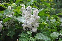 Lilas blanc Photographie stock