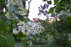 Lilas blanc photos stock