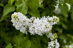 Lilas blanc Image stock