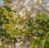 Lilas blanc de floraison Photo libre de droits