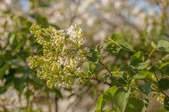 Lilas blanc de floraison Images libres de droits