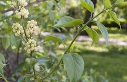 Lilas blanc de floraison Image stock
