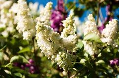 lilas blanc et rose photo stock