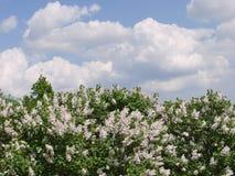 Lilas blanc parfumé lumineux avec un beau parfum Élevage dans la perspective de grands nuages flottant lentement dessus Photo stock