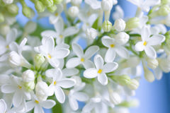 Lilas blanc sensible image libre de droits