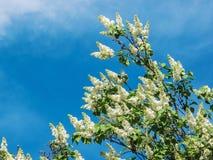 Lilas blanc sur un fond de ciel bleu Photos stock