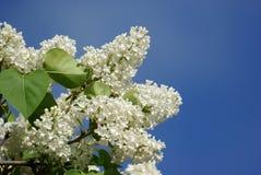 Lilas blancas fotografía de archivo