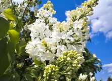 Lilas blancas florecientes Fotografía de archivo