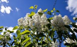 Lilas blancas florecientes Fotografía de archivo libre de regalías