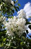 Lilas blancas florecientes Imagenes de archivo