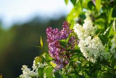 Lilas blancas y púrpuras Imagen de archivo libre de regalías