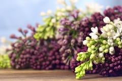 Lilas colorés Photos libres de droits