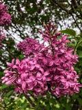 Lilas colorés par fuchsia sur l'arbre Photographie stock