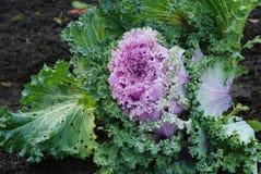 Lilas décoratif de chou Image stock