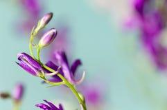 ` Lilas d'otarie de ` de fleur, champ Photos stock