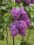Lilas dans le jardin lilas Photo stock