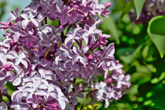 Lilas de floraison Images stock