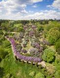 Lilas de floraison dans le jardin botanique Silhouette d'homme se recroquevillant d'affaires Photo libre de droits
