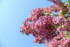 Lilas en el jardín Imagenes de archivo