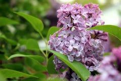 Lilas en la floración Foto de archivo libre de regalías