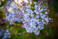 Lilas et abeille de floraison, Bokeh Photos stock