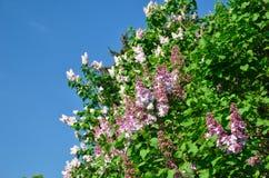 Lilas fleurissant Photos libres de droits