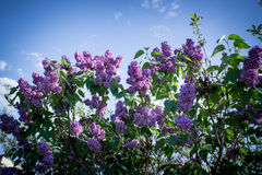 Lilas fleurissant Image stock