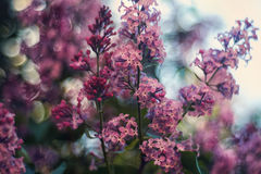 Lilas fleurissant Photo stock