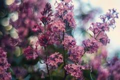 Lilas fleurissant Photo stock