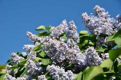 Lilas fleurissant et le ciel bleu Image libre de droits