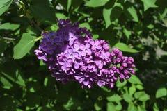 Lilas florecientes Foto de archivo libre de regalías
