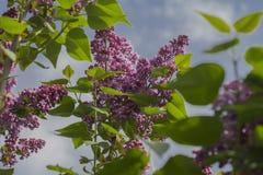 Lilas florecientes Imagen de archivo