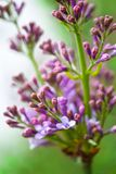 Lilas flowers Royalty Free Stock Photos