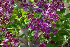 Lilas - fragancia de la primavera imagen de archivo
