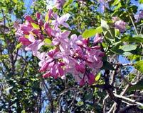 Lilas frescas en la naturaleza Imagen de archivo