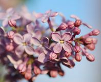 Lilas. Instruction-macro Photographie stock libre de droits