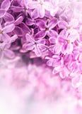 lilas Lilas pourpré Bouquet des lilas pourpres Belles fleurs de lilas - fin  Valentines épousant le backgroun floral romantique photo libre de droits