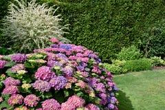 Lilas merveilleux et fleurs roses d'hortensia image libre de droits
