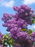 Lilas púrpuras Fotografía de archivo libre de regalías