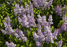 Lilas púrpuras Fotografía de archivo