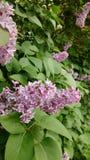 Lilas púrpuras Foto de archivo libre de regalías