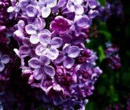 Lilas púrpuras mojadas preciosas en la mediados de-floración en un día de primavera lluvioso Fotos de archivo