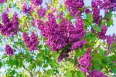 Lilas parfumés de ressort Photo stock