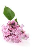 Lilas rose Photographie stock libre de droits