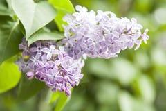 Lilas (Syringa L vulgaris ) Images stock