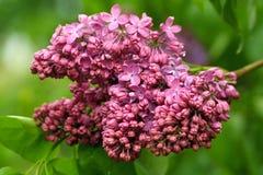 Lilas violet Images libres de droits
