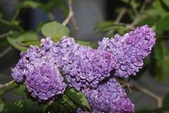 Lilas violet Photographie stock libre de droits