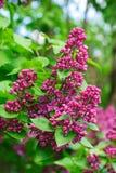 Lilas violet-foncé Photos libres de droits