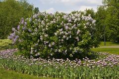 Lilas y tulipanes en jardín Fotografía de archivo